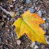 Colorful Maple Leaf in the Fall